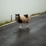 Sheep patrol awaits the crew